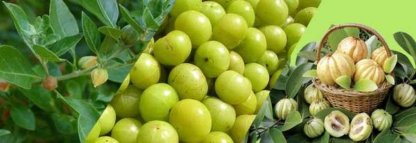 Frutti di Garcinia Cambogia